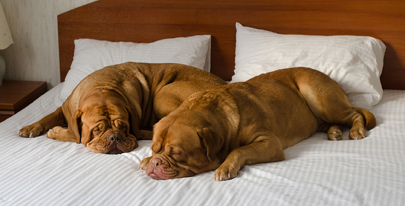 Dogs resting on hotel bed